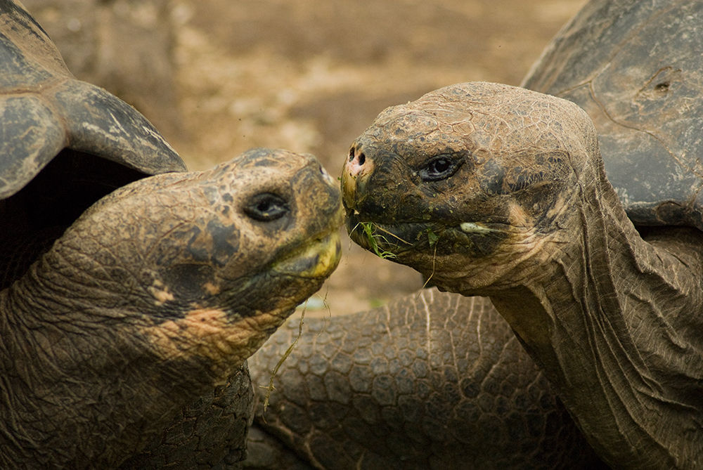 Image of two tortoises kissing - Oakland Therapist EMDR Therapist