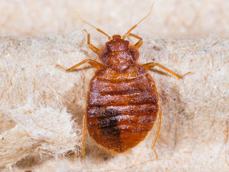 Do sprays and repellents make bed bug problem worse?