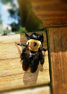 carpenter-bee-1560475_1920.jpg