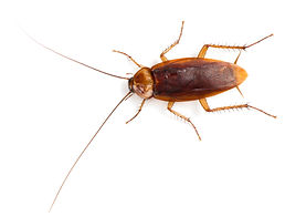 American Roach.jpeg