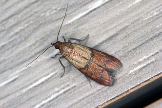 Indian Meal Moth.jpeg