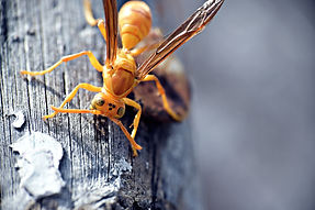 Paper Wasp Close Up.jpg