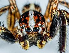 Jumping Spiders.jpg