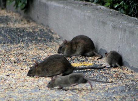 Rat Sighting Keep on Rising!