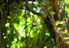 Black and Yellow Spider.jpg