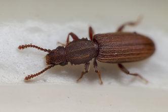 Saw Tooth Grain Beetle.jpeg
