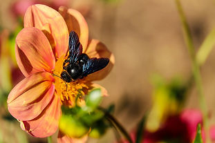 carpenter-bee-1694863_1920.jpg