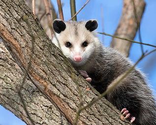 opossum-3933041_1920.jpg
