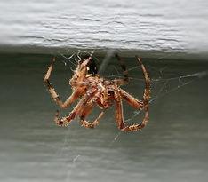 House Spider.jpg