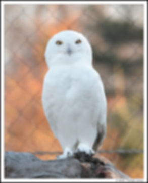 White Snowy Owl on Log with fence behind
