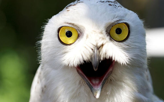 White Snowy Owl Screeching