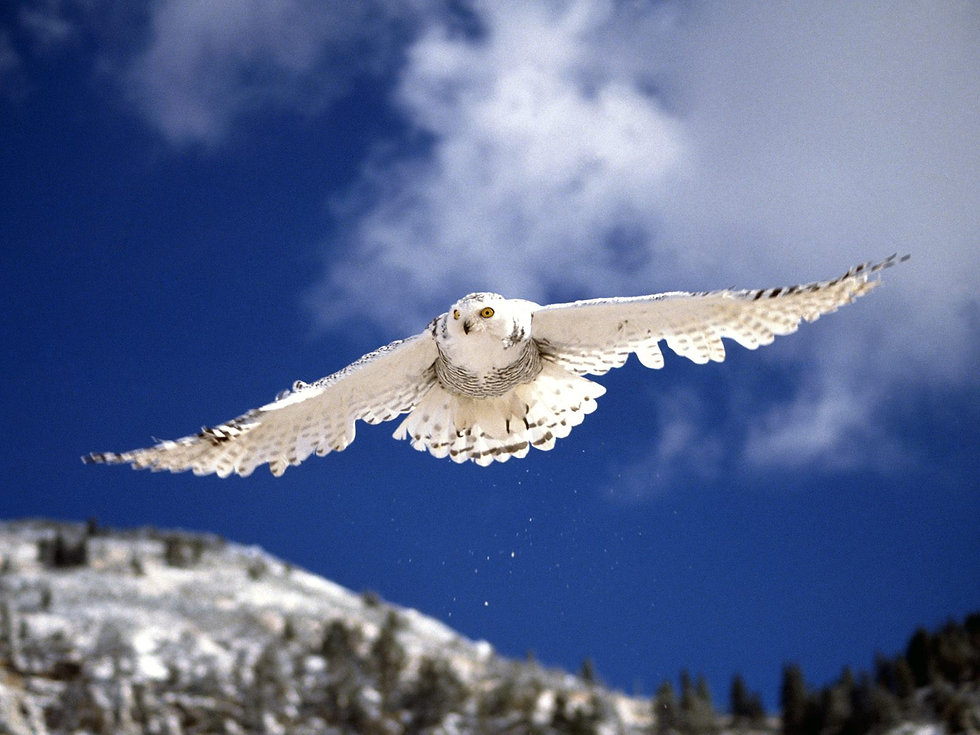 White Snowey Owl Gliding Huge Wingspan