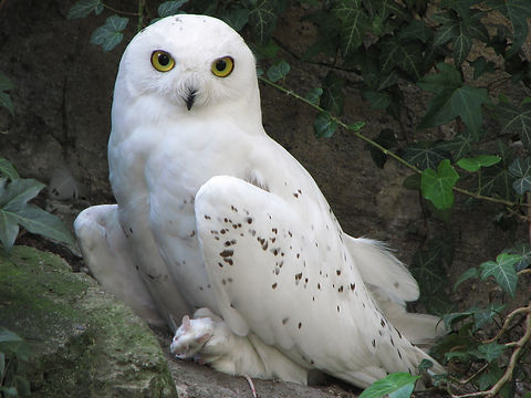 White Snowy Owl With White Rat Prey