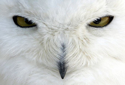 "White Snowy Owl Face Up Close ""Thinking Ummmm?)"