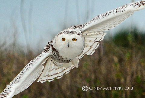White Snowy Owl Gliding