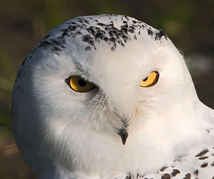 White Snowy Owl Portrait Close