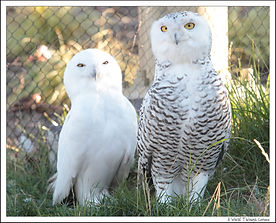 Snow Owl Pair