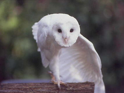 White Owl Dancing
