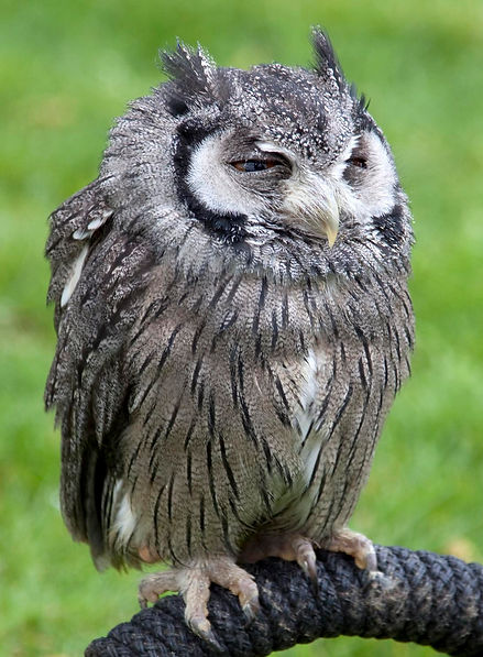 Horned Owl Looking Tired