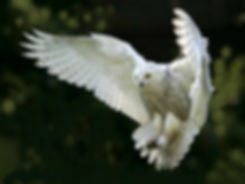 White Snowy Owl Coming In for Landing with Huge Wingspan