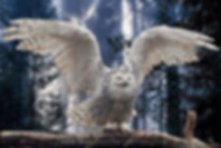 White Snowy Owl With Huge Wingspread on Limb