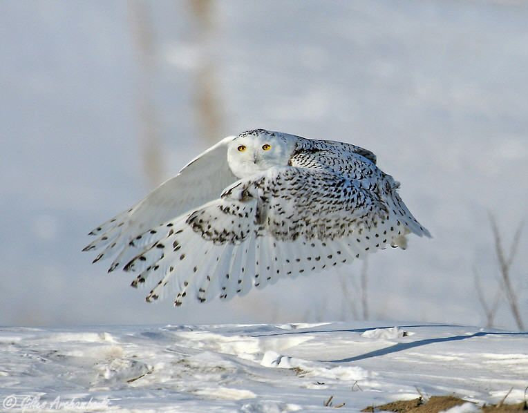 "White Snowy Owl Wings ""Clapping"""