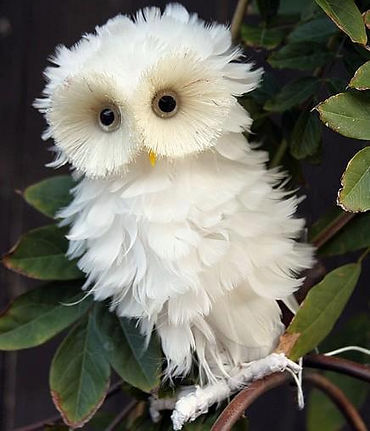 White Owl a bit frazzled