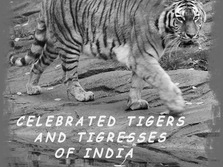 Celebrated Tigers of India: The Patrani of Panna