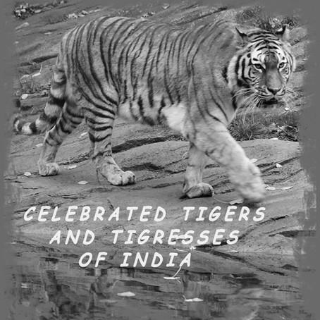 Celebrated Tigers of India: B2 and Bamera of Bandhavgarh