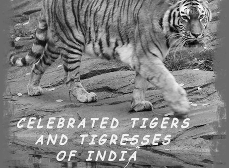 Celebrated Tigers of India: B2 and Bamera of Bandhavgarh