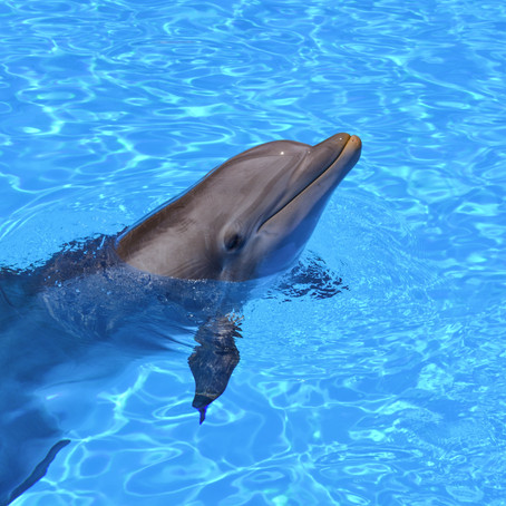 Dolphins feel lonely due to decreased human interaction during the pandemic.