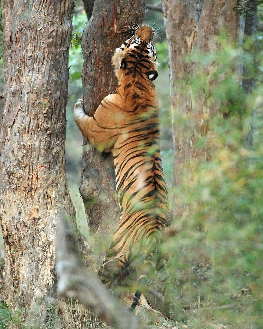 Bamera MAle- Bandhavgarh National Park