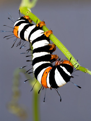 Joseph's Coat caterpillar