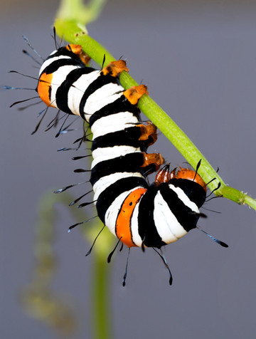 Joseph's Coat caterpillar