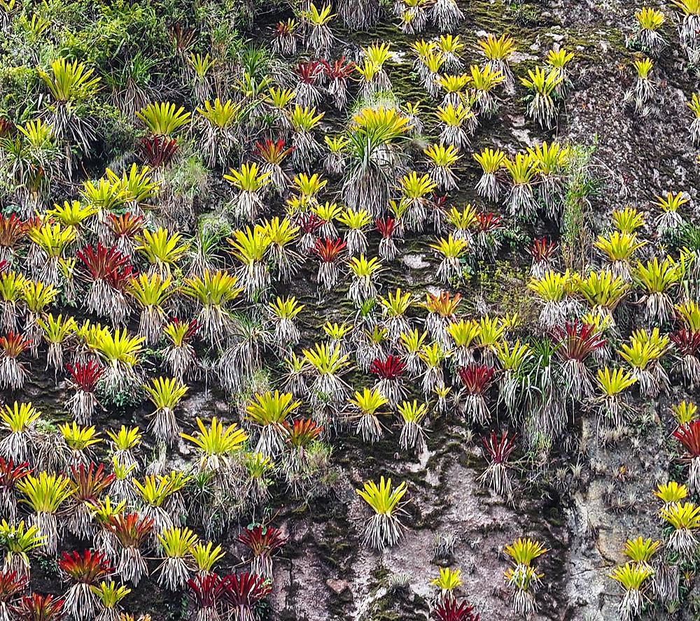 Peru, cloud forests, bromeliads