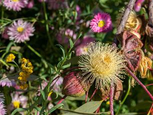Native flowers of Western Australia at Kings Park