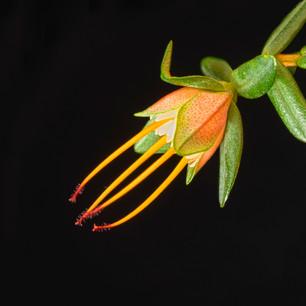 Darwinia citriodora Native flowers--7-Ed