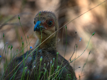 Baby brush turkey