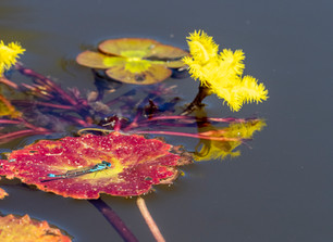 Damsel fly on the water lily