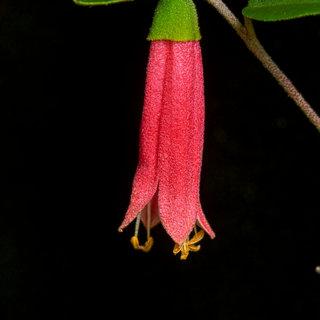 Correa native flower