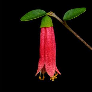 Correa Native flowers--6-2-book.jpg
