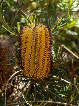 Banksia at Ku Ring Gai Wildflower Glarden