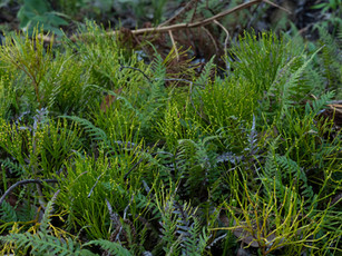 Primitive fern, Psilotum nudum, in a native garden