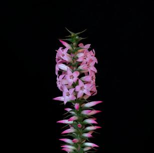 Epacris purpurascens_7130839.jpg
