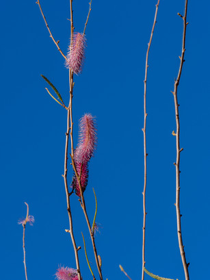 Grevillea petrophiloides Ssp. Remota