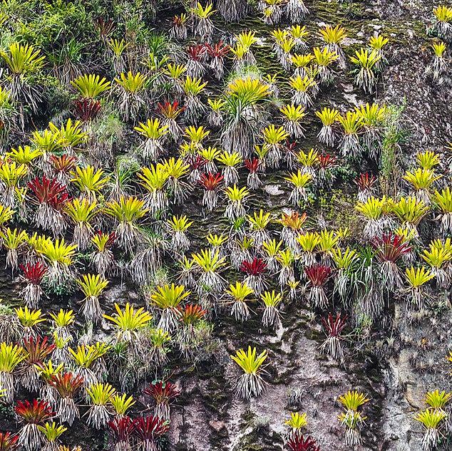 Bromeliads at Machu Picchu