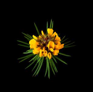 Pultanaea stipularis  2019-09-08 13-44-3