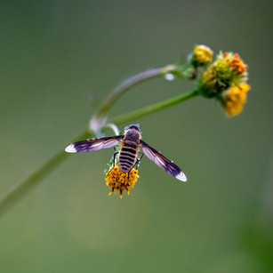 Insect having a feed on the weedy flower