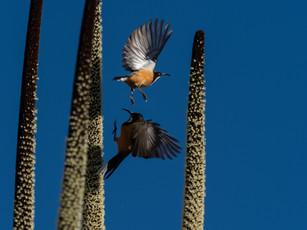 Birds enjoying the Xanthorrhaea (Grass tree) stalks