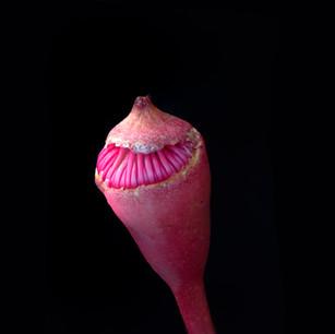 Corymbia ficifolia Plant portrait  _7240